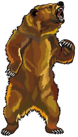 oso: oso grizzly, rugido agresivo pose, imagen aislado en el fondo blanco