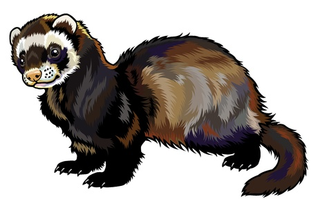 ferret,mustela putorius furo,side view picture isolated on white background Stock Vector - 19189418