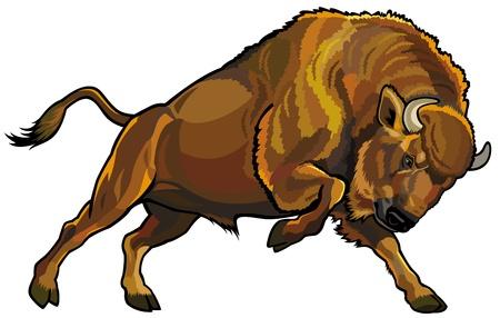 bisonte bisonte europeo, atacando pose, la vista lateral cuadro aislado en fondo blanco Ilustración de vector