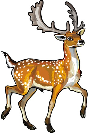 asia deer: fallow deer side view illustration isolated on white background