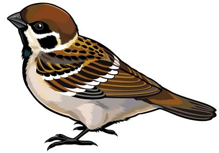 sparrow bird: tree sparrow wild european bird,side view illustration isolated on white background