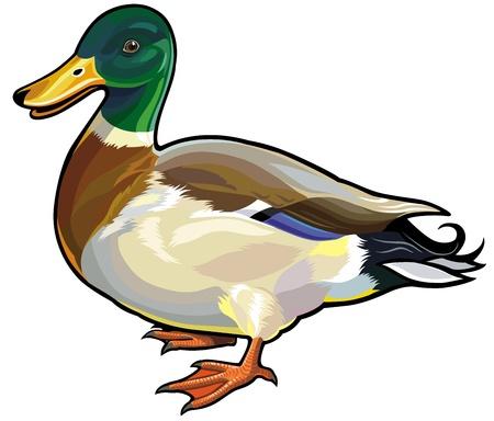 ánade real macho pato salvaje, imagen vista lateral aislado en fondo blanco Ilustración de vector