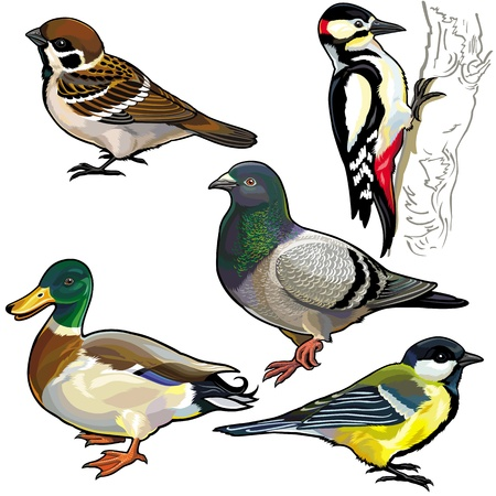pato real: establecido con las aves silvestres de Europa, fotos secundarios aislados sobre fondo blanco