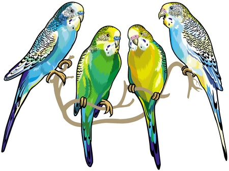 budgerigars australian parakeets isolated on white background Ilustração