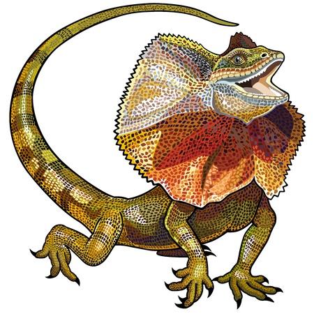 lagartija: lagarto volante de cuello aislado en el fondo blanco