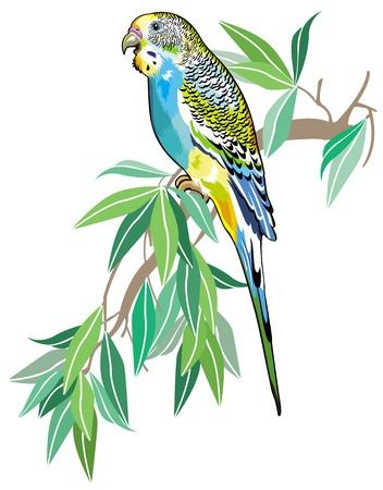 budgerigar australian parakeet isolated on white background Vector