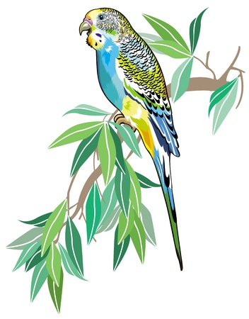 budgie: budgerigar australian parakeet isolated on white background Illustration