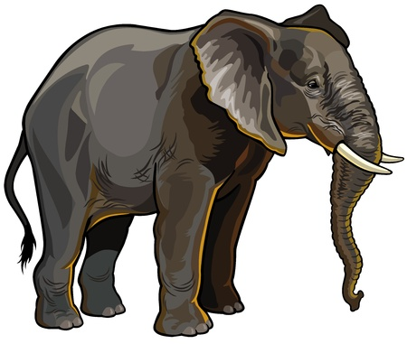 continente africano: africano vista lateral elefante aisladas sobre fondo blanco