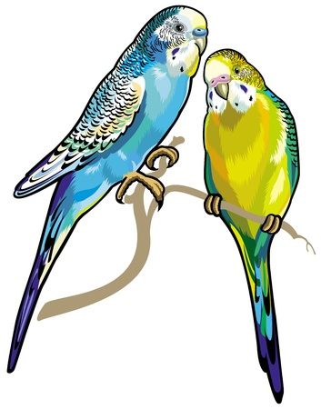 budgie: budgerigars australian parakeets isolated on white background Illustration