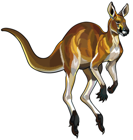 herbivore: red kangaroo i motion isolated on white background Illustration