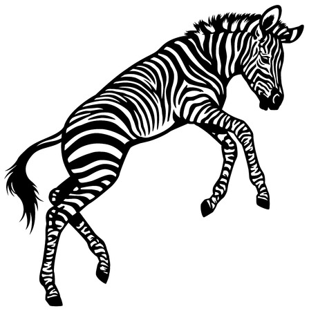 zebra baby isolated black and white illustration Vector