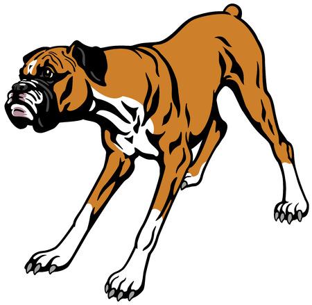 dog boxer breed , illustration isolated on white background
