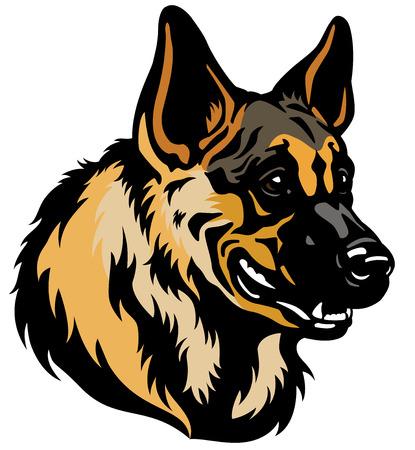 pastorcillo: cabeza de perro pastor alemán aisladas sobre fondo blanco