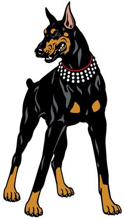 dog doberman pinscher breed, illustration isolated on white background Vettoriali