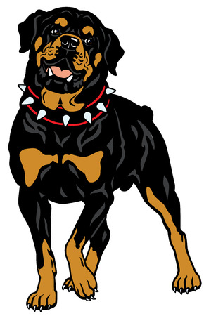 dog rottweiler breed, front view illustration isolated on white background