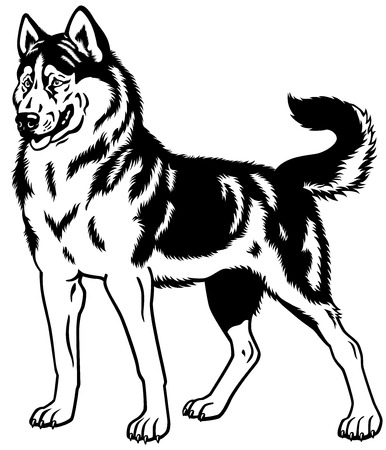 sled dog: dog siberian husky breed, black and white illustration  Illustration