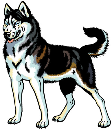 dog sled: dog siberian husky breed, illustration isolated on white Illustration