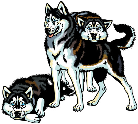 siberian husky sled dogs, illustration isolated on white background Illustration