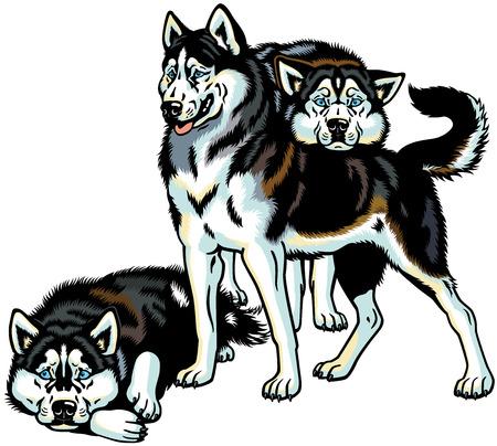 �siberian husky�: siberian husky sled dogs, illustration isolated on white background Illustration