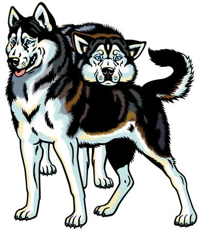 sled dog: siberian husky sled dogs, illustration isolated on white background Illustration