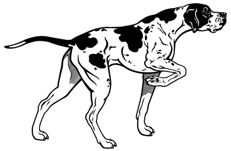 hunting dog: english pointer hunting dog, side view, black and white illustration