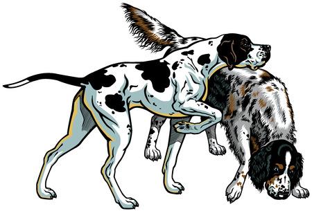 perro de caza: Inglés puntero y setter razas de perros arma, ilustración aisladas sobre fondo blanco
