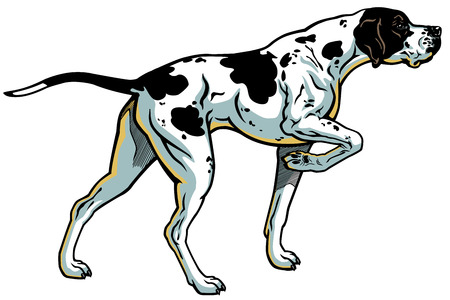 pointer dog: english pointer gun dog breed, side view, illustration isolated on white background