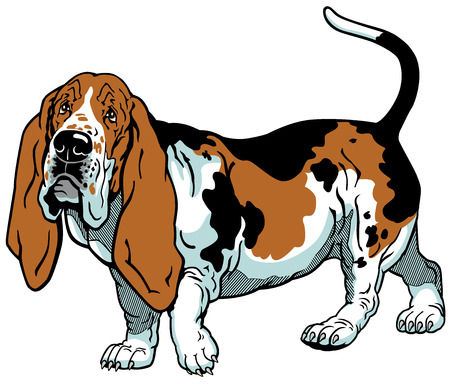 hound: dog basset hound breed, illustration isolated on white background Illustration