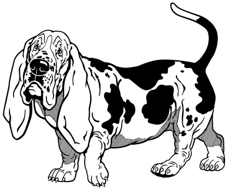 basset hound: raza basset hound perro, ilustraci�n en blanco y negro Vectores