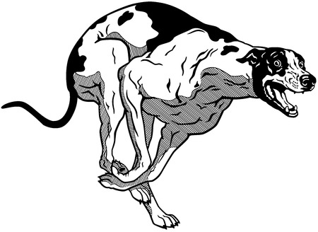 pedigreed: running dog, english greyhound breed, black and white illustration  Illustration
