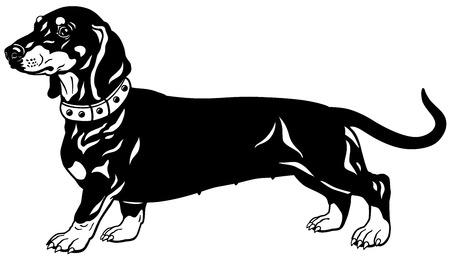 perro de caza: perro, De pelo corto raza dachshund, vista lateral, ilustración en blanco y negro