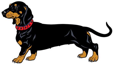 犬滑らか髪のダックスフント、サイドビュー、白い背景で隔離の図