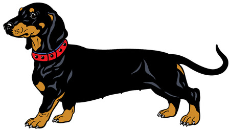 dog smooth-haired dachshund,side view,illustration isolated on white background