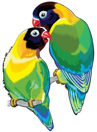 paar gemaskerde tortelduifjes of oogring lovebirds Twee kleine papegaaien die op een witte achtergrond