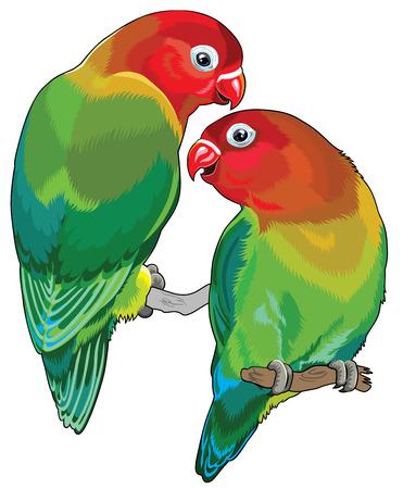 paar Fischers tortelduifjes Agapornis fischeri Twee kleine papegaaien die op een witte achtergrond