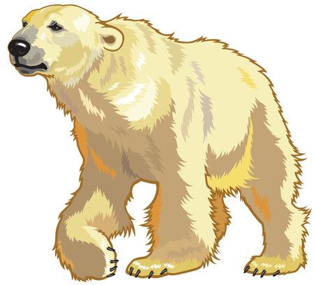 zoology: polar bear, ursus maritimus, image isolated on white background  Illustration