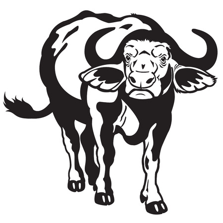 african cape buffalo, black and white image