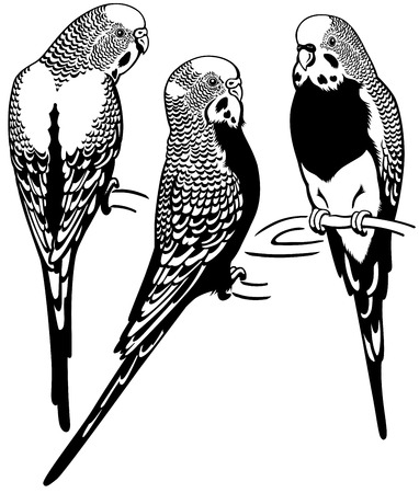 budgerigars australian parakeets,black and white image