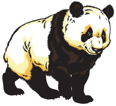 �  giant panda: oso panda gigante aislado en el fondo blanco Vectores