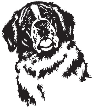 saint bernard: dog head, saint bernard breed,black and white image