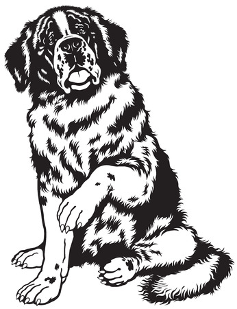 black and white image: dog saint bernard breed, sitting pose, black and white front view image