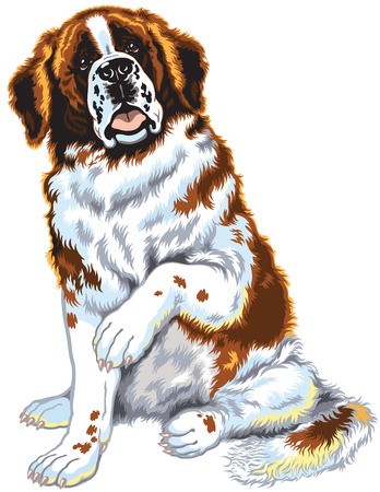 saint bernard: dog saint bernard breed, sitting pose, front view image isolated on white