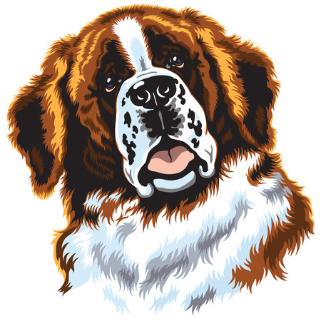 dog head,saint bernard breed, front view image isolated on white Vector