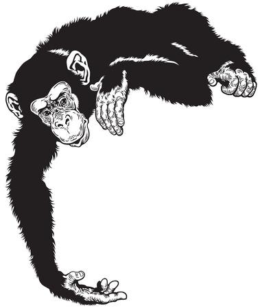 chimpanzee ape, black and white image Vettoriali