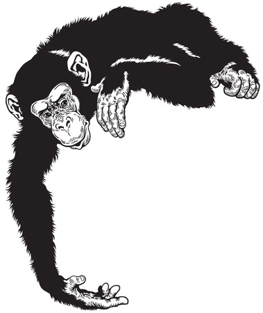 chimpanzee ape, black and white image Illustration