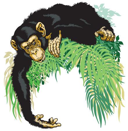 omnivore: chimpanzee or chimp ape, illustration isolated on white