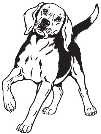 hounds: beagle hunting hound dog, front view, black and white image