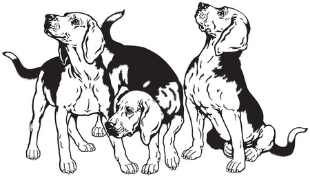 beagle: three beagle hounds,hunting dogs breed, black and white image