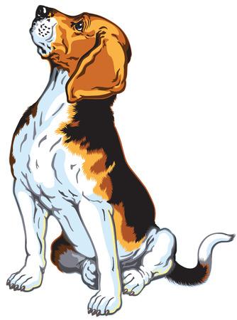 beagle hound dog, sitting pose, isolated on white background Vector