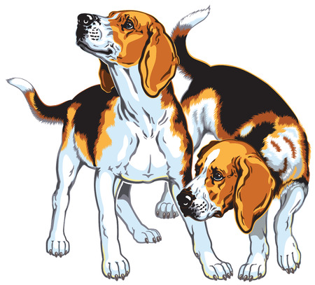 two beagle hounds, hunting dogs breed, picture isolated on white background Vector